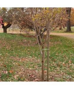 "Premium Lodge Pole Pine, PT 2.5"" x 10', Tru Stake"