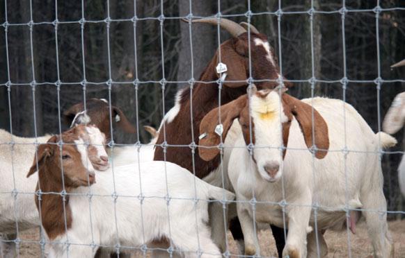 Goat Fencing from Wellscroft