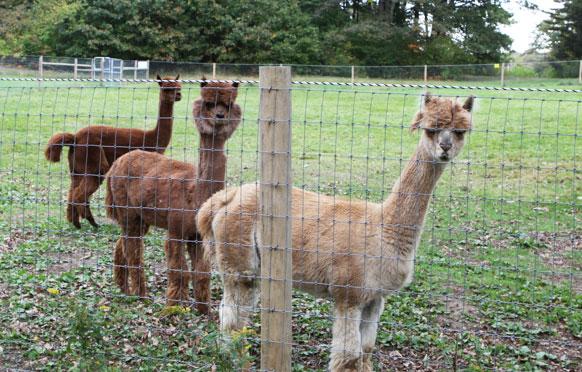 Llama and Alpaca Fencing from Wellscroft