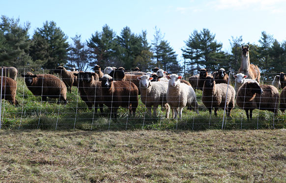 Sheep Fencing from Wellscroft